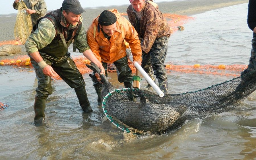 Рыболовецкая бригада, нанятая для отлова морских млекопитающих наберегу Охотского моря, готова достать из сетей морского котика. В руке у рыбаков труба или палка