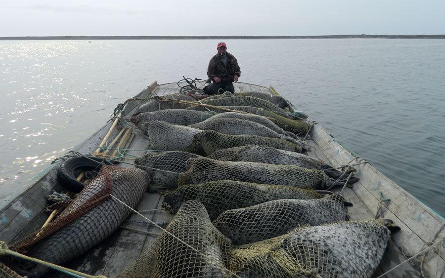 Ларги, выловленные в Охотском море, лежат запутанные в сети на лодке. На фото видно не менее 16 обездвиженных ларг.